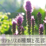 リアトリスの種類と花言葉