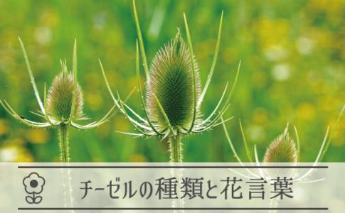 チーゼルの種類と花言葉