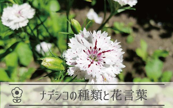 ナデシコの種類と花言葉