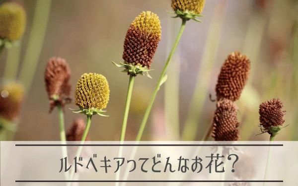 ルドベキアってどんなお花?