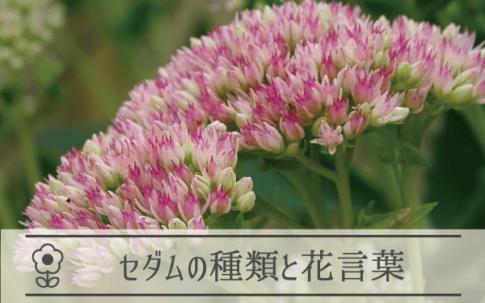 セダム(弁慶草)の種類と花言葉