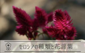 セロシアの種類と花言葉